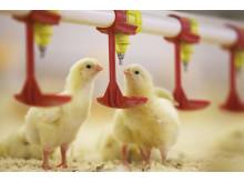 Gula kycklingar dricker