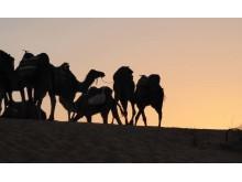 Kamelkarawane im Sonnenuntergang - Yoga in der Wüste mit NOSADE