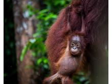 En ung orangutang i Tanjung Puting nationalpark, södra Borneo. ©Johan Lind/N