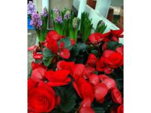 Storblommig Begonia - en av de sju som ger en fröjdefull jul