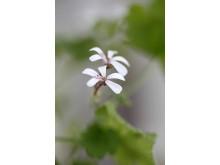 3 Muskotpelargon / Marias blomma  Pelargonium x fragrans Grönt Kulturarv U-40