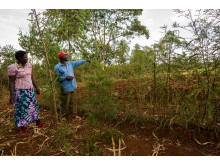 Agroforestry efter två år