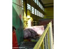 Transport av grisar i Frankrike, april 2011