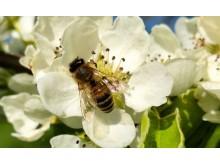Pollinerande Insekt Rosendals Trädgården Royal Djurgården