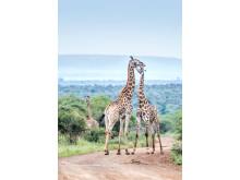 P&CG_Giraffer