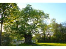 Sockerdricksträdet