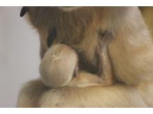 Vitkindad Gibbonunge född på Parken Zoo