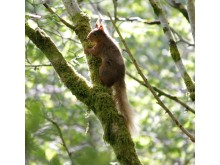 Red squirrel caught on camera by Ballygally Biodiversity Group