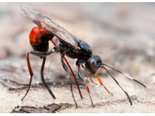 Stekel. Artrikaste gruppen insekter i Sverige är steklarna med ca 11 100 arter.