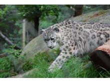 Snöleopard på Nordens Ark
