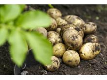 Potatisodling