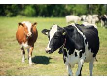Tikan luomutilan lehmät laitumella