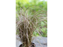 Bronsstarr, Carex comans Bronze
