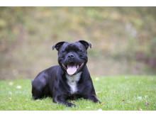 Hund på gräsmatta