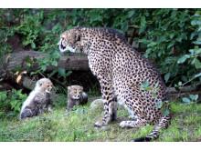 Gepardungarna i deras nya uteanläggning