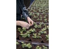 Närbild på toppning av fuchsiaplantor.