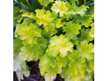 Alunrot - Heuchera 'Lime Rickey'
