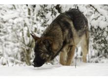 Kortisol i pälshåren speglar stress hos hundar