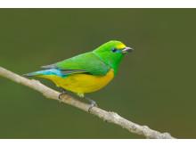 Tangara, naturresa Colombia