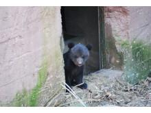 björnungar2018