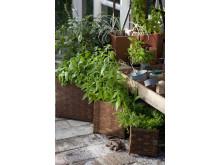 Doften av kryddiga växter
