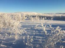 Frostskog Reisa Nasjonalpark Foto Kjetil Bjørklid