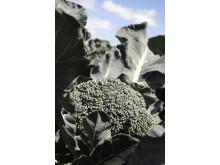 Superbroccoli på fält