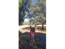 plocka oliver