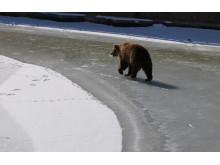 """""""Is-björnar"""" ute för första gången i vår"""