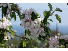 Äppelblom i Kivik