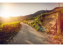 Weinreben im Salgesch, Copyright: Valais Wallis-Promotion, Pascal-Gertschen