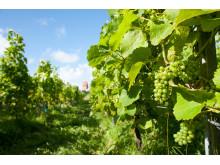 Auf den zwei Keitumer Weinanbauflächen wachsen Reben für Deutschlands nördlichsten Wein.
