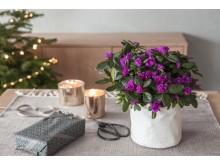 Lilla azalea i grow-in selvvannningspotte