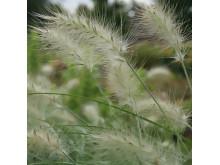 Dunborstgräs