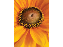 Sommarrudbeckia 'Tigereyegold' närbild