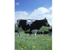 Arla Cow