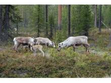 """Rovdjur hindrar renar från att """"surfa på grön våg"""""""