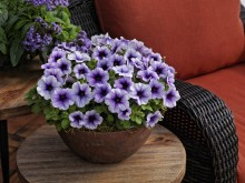 Petunia Sanguna Patio Blue Vein