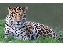 Jaguar, naturresa Colombia