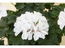 Hängzonalpelargon 'Marcada White'