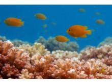 Frökenfiskar i korall