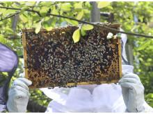 honungsskörd