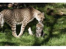 Borås Djurparks gepardungar ute för första gången