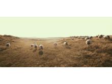 Inselliebe - freilaufende Schafe am Ellenbogen
