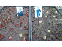Steffos och Jennys tulpaner kommer ut i värmen