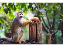 Eierdieb im Zoo Leipzig - Totenkopfäffchen in Gondwanaland