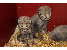 Gepardungarna i Borås Djurpark 1 månad gamla