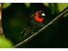 Crimson collared tanager, courtesy Bret Love & Mary Gabbett