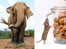 Den asiatiska elefanten har de kortaste spermierna i förhållande till sin kroppsstorlek medan husmusen har de längsta. Människo- och elefantspermier är ungefär lika långa, mindre än hälften så långa som husmusens. Foto: Mostphotos.
