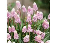 Muscari Pink Sunrise